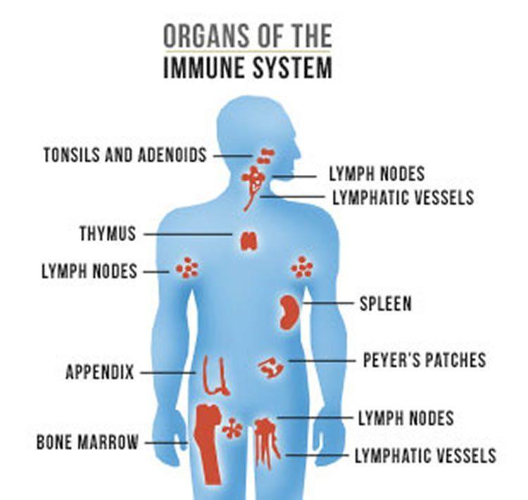 Organs of the Immune – wellnessthatworks.com.au